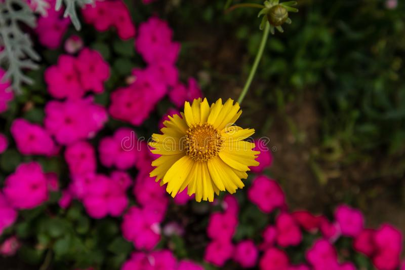 Coreopsis-Coreopsis drummondii Torr. et Gray. It is a perennial perennial herb of Compositae and chrysanthemum. Its leaves are mostly sparse, alternate, entire stock photos