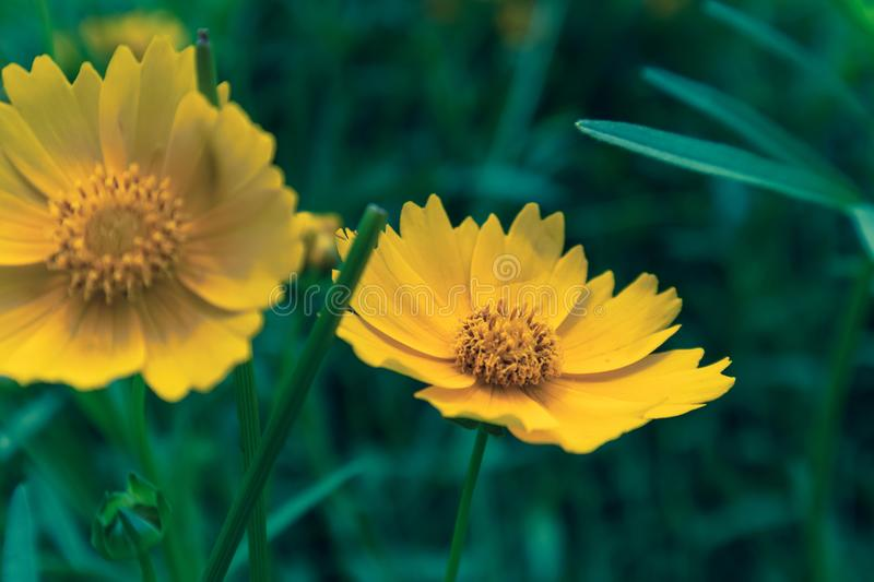 Coreopsis-Coreopsis drummondii Torr. et Gray. It is a perennial perennial herb of Compositae and chrysanthemum. Its leaves are mostly sparse, alternate, entire royalty free stock photography