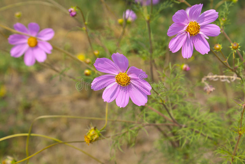 Coreopsis del fiore immagine stock libera da diritti