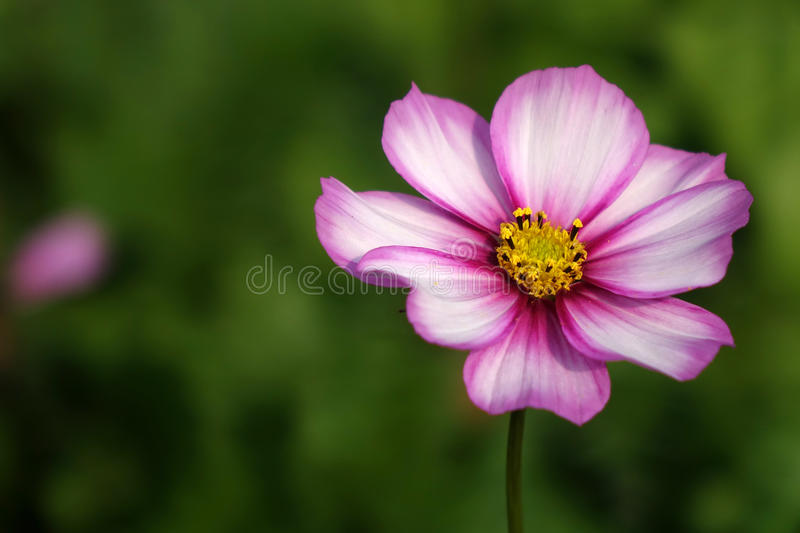 A coreopsis flower. In the field stock image
