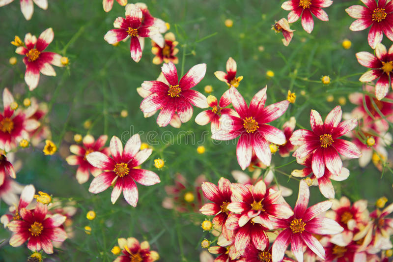 Coreopsis Garnet. A field of garnet-colored coreopsis stock images