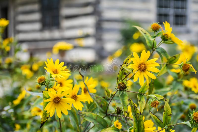 Coreopsis or Tickseed Yellow Flowers Blooming stock images
