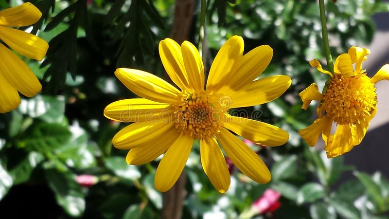 Coreopsis jaune photographie stock