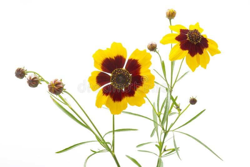 Coreopsis lancelota flowers stock photo