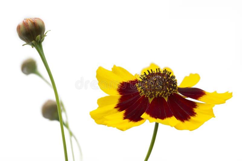 Coreopsis lancelota flowers royalty free stock image