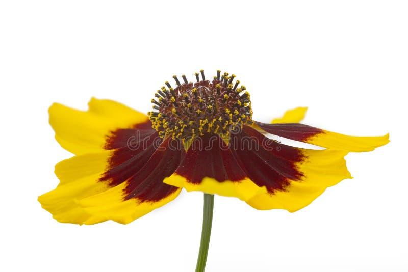Coreopsis lancelota flowers royalty free stock photos