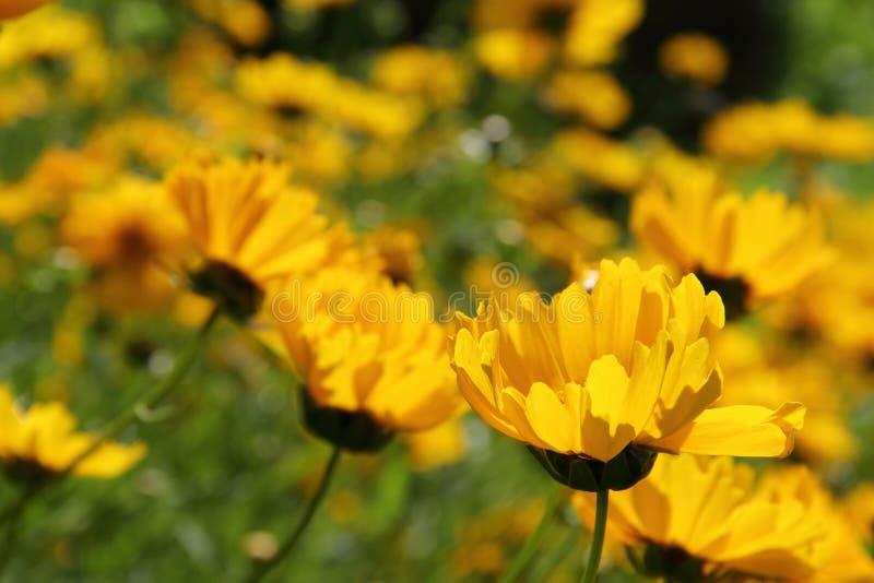 Coreopsis lanceolata lizenzfreie stockfotos