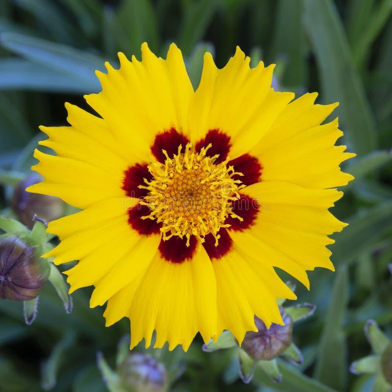 Coreopsis lanceolata flower royalty free stock images