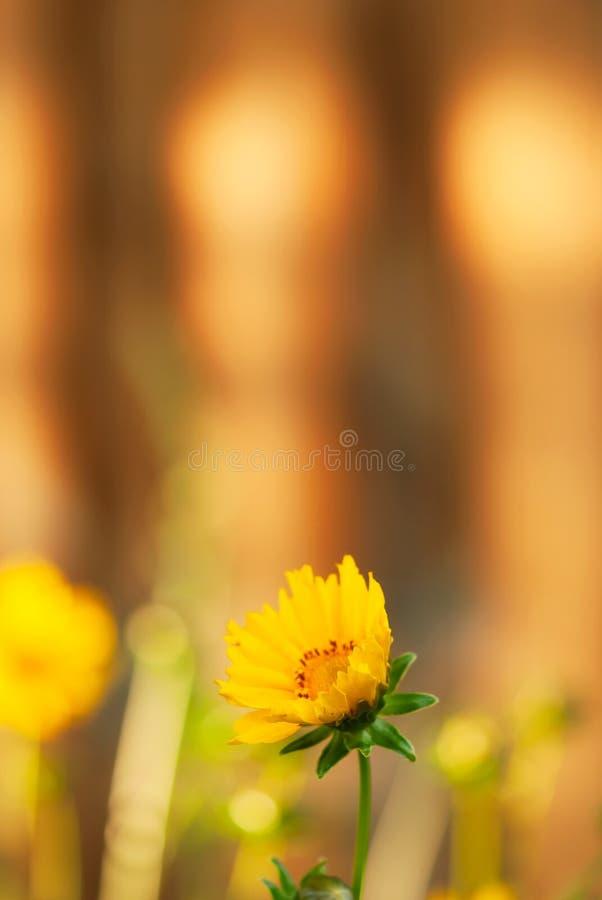 Coreopsisblomma med orange bakgrund royaltyfria foton