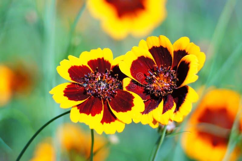 Coreopsisblumen. lizenzfreie stockbilder
