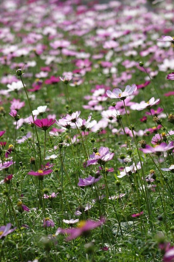 Coreopsisblumen auf der Hintergrundbeleuchtung lizenzfreies stockbild