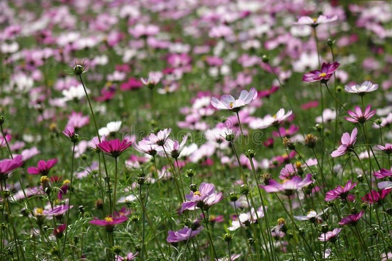 Coreopsisblumen auf der Hintergrundbeleuchtung stockbild
