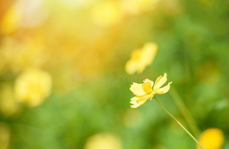 Cores amarelas do outono do calendula da planta do amarelo do fundo do borrão do campo de flor da natureza bonitas no jardim fotografia de stock royalty free