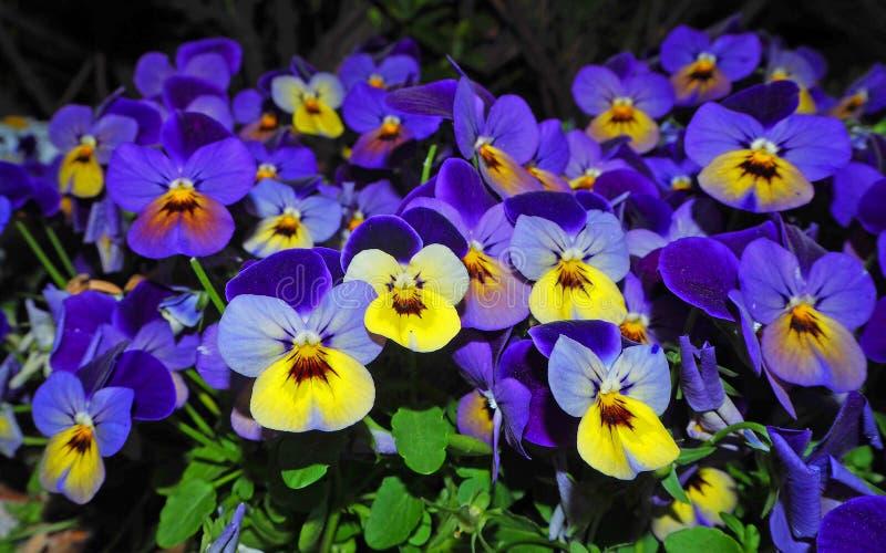 Cores amarelo-azuis vívidas da mola de Pansy Flowers contra um fundo verde luxúria Imagens macro de pansies da flor no jardim foto de stock royalty free