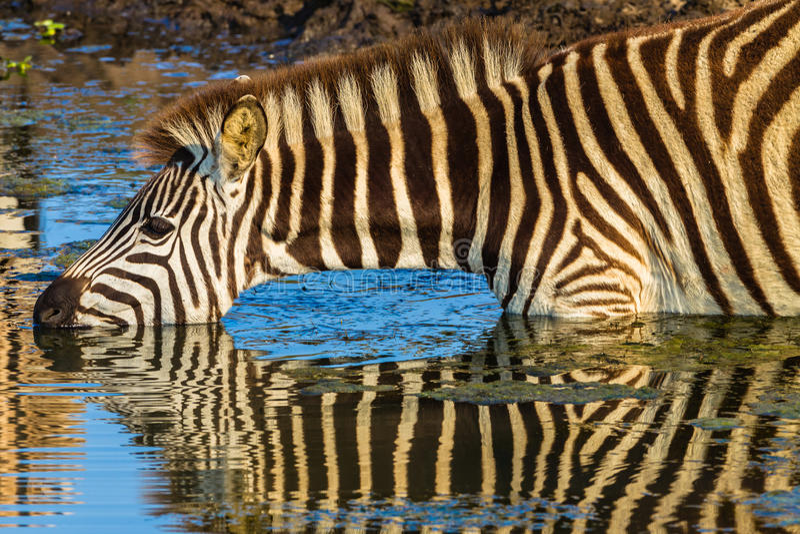 Cores bebendo do espelho da zebra foto de stock