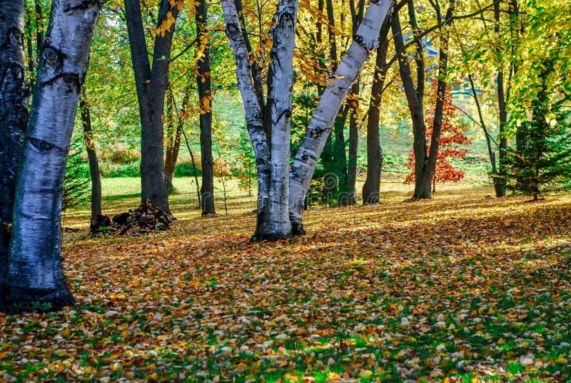 Cores bonitas da queda e árvores de vidoeiro com Sun em Autumn Day foto de stock royalty free