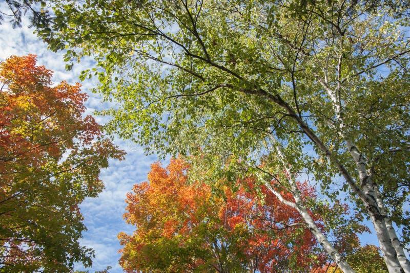 Cores da folha do outono na árvore de vidoeiro de prata fotografia de stock royalty free