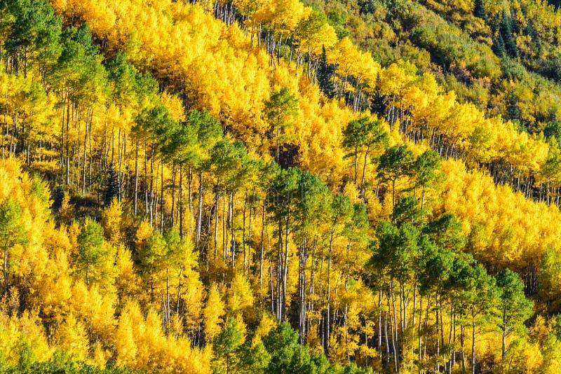 Cores da queda do outono do álamo tremedor de Colorado imagem de stock
