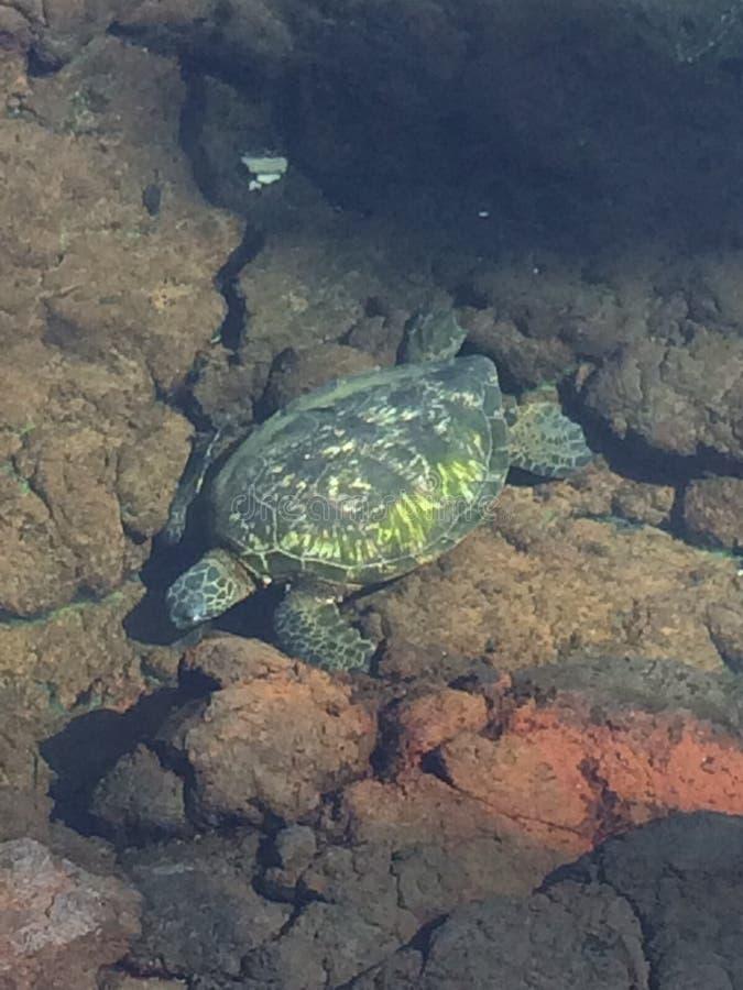 Cores da tartaruga de mar imagens de stock