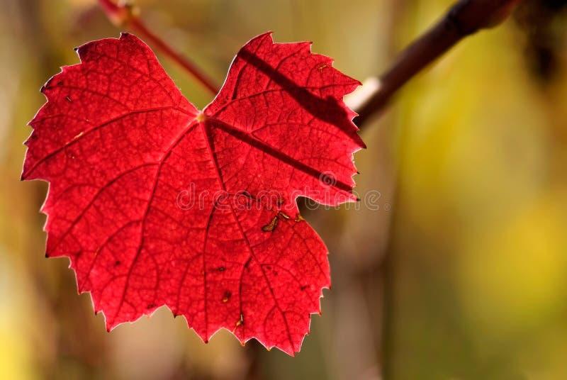 Cores da vinha do Beaujolais do outono fotos de stock royalty free