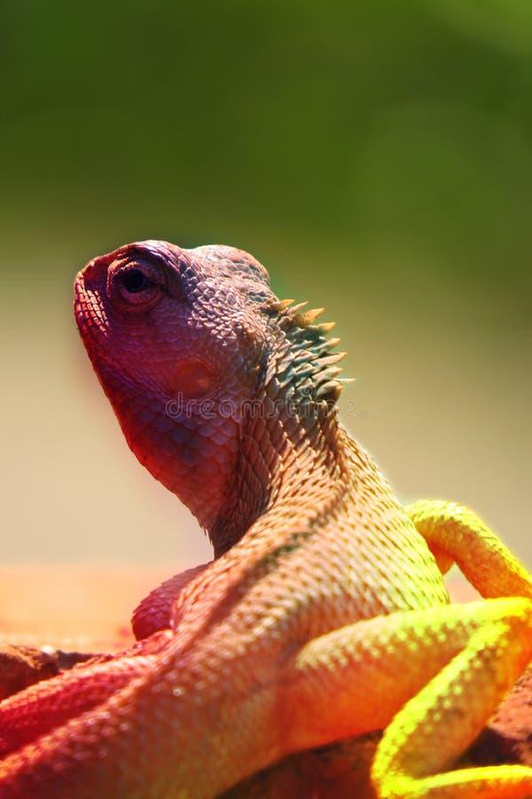 Cores do camaleão fotografia de stock