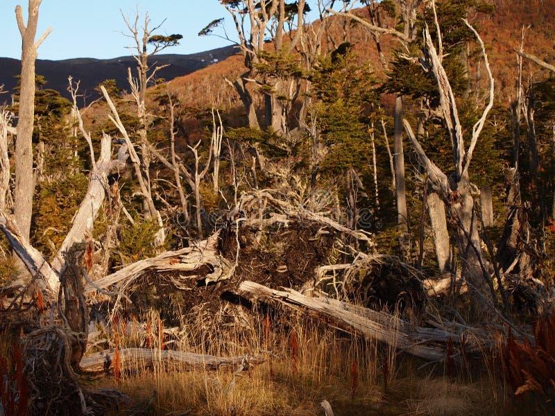 Cores do outono das florestas subpolar da faia da ilha de Navarino, o Chile - as florestas do extremo sul dos world's fotografia de stock