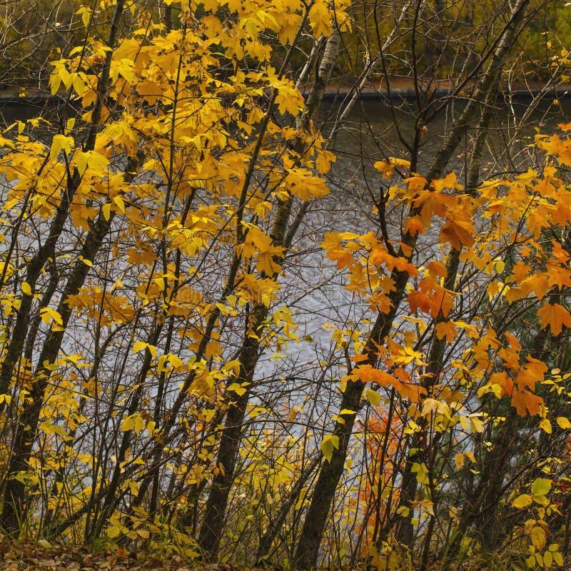 Cores do outono em arbustos ao lado do lago fotos de stock royalty free