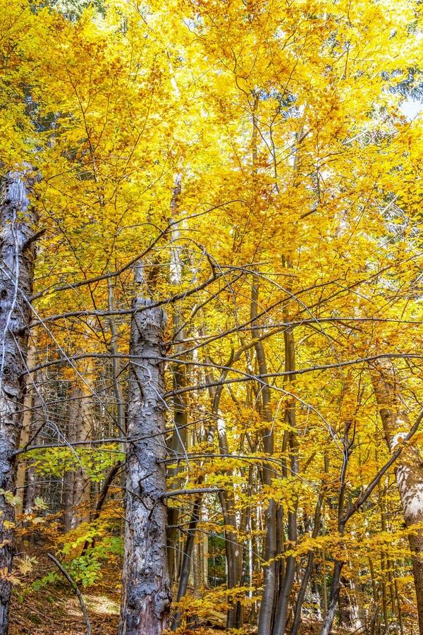 Cores douradas do outono nas florestas da montanha de Vitosha, Bulgária foto de stock royalty free