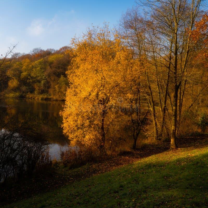 Cores outonais mornas da luz solar e da árvore em Hayes Country Park profundo em Staffordshire fotos de stock royalty free