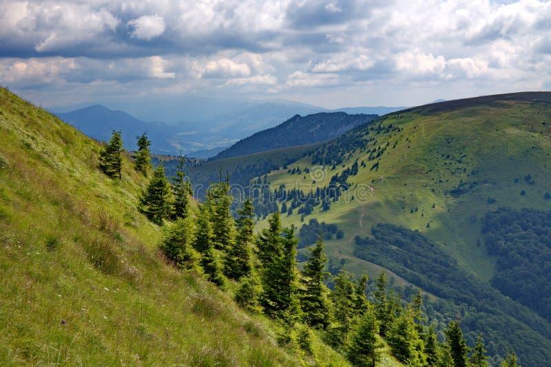 Cores verdes intensivas dos abetos vermelhos e inclinação das montanhas nas horas de verão imagens de stock