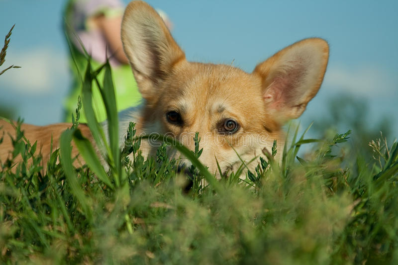 Corgi_3 royalty free stock images