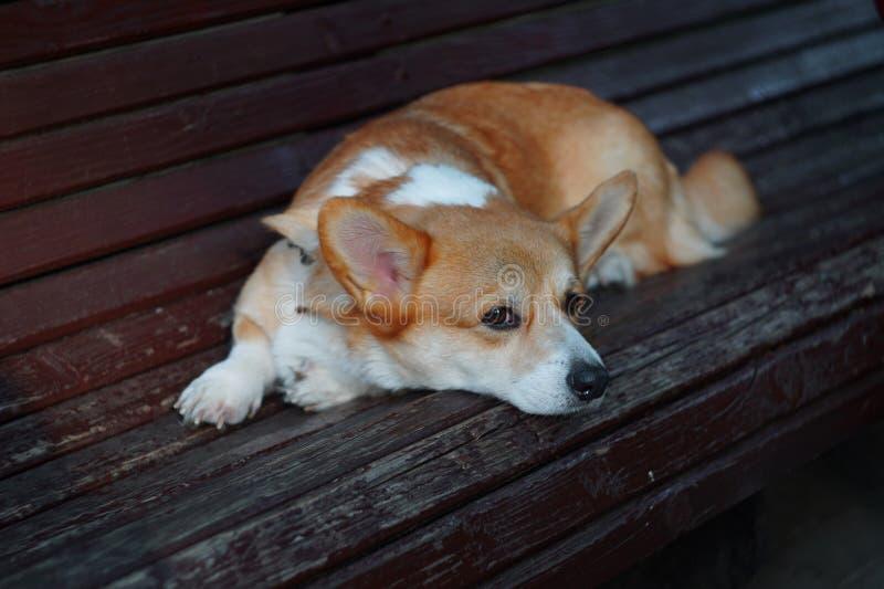 Corgi bonito do cão triste fotos de stock royalty free