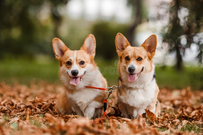 Corgi de los perros en bosque del otoño imagen de archivo
