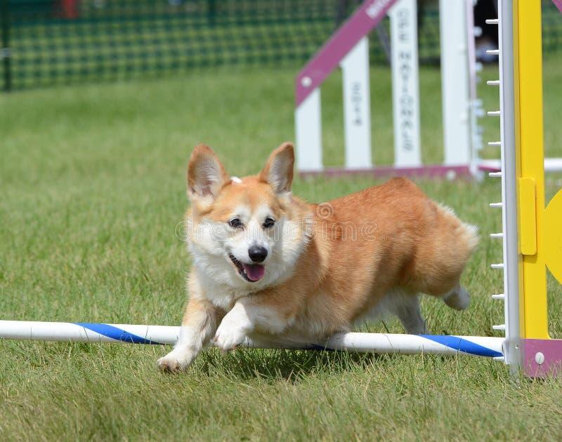 Corgi di Lingua gallese del Pembroke ad una prova di agilità del cane fotografia stock libera da diritti