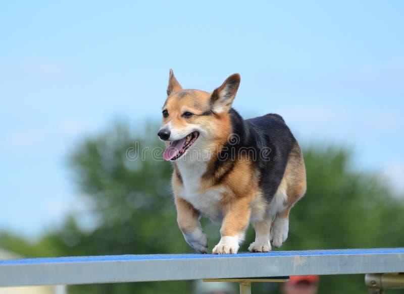 Corgi di Lingua gallese del Pembroke ad una prova di agilità del cane immagini stock libere da diritti