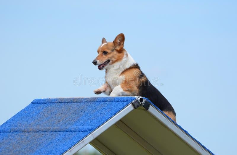 Corgi di Lingua gallese del Pembroke ad una prova di agilità del cane immagini stock
