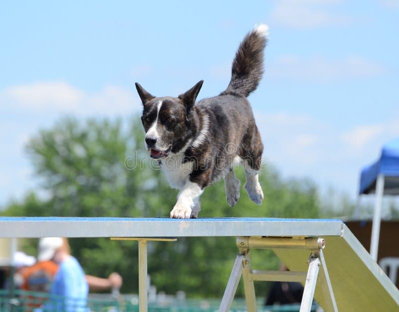 Corgi di Lingua gallese del Pembroke ad una prova di agilità del cane fotografia stock