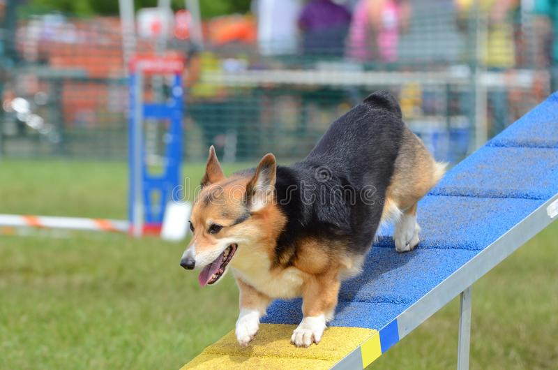 Corgi di Lingua gallese del Pembroke ad una prova di agilità del cane immagine stock libera da diritti