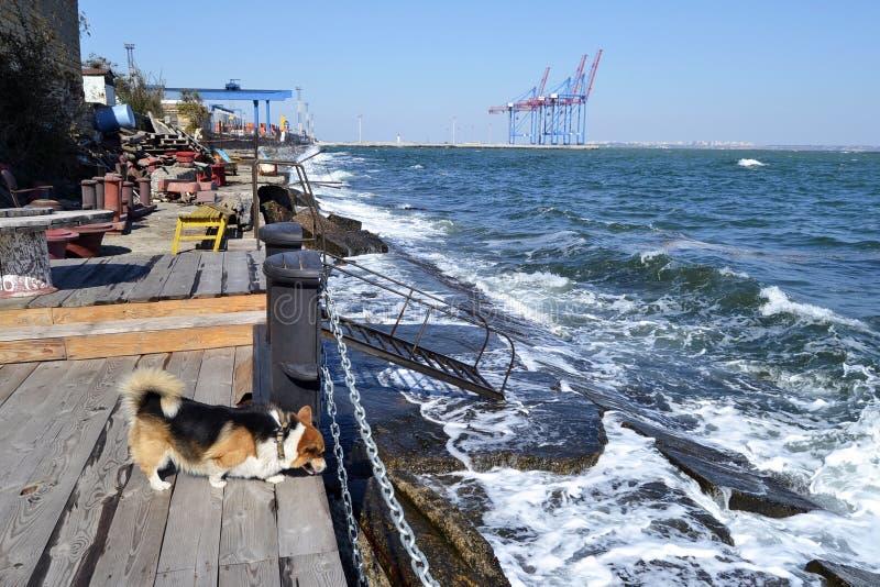 Corgi di Lingua gallese sulle periferie del porto marittimo immagine stock