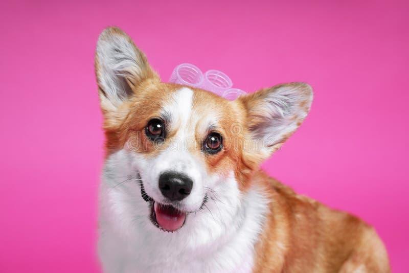 Corgi divertente di lingua gallese del pembroke del cane con con i bigodini su un fondo rosa dello studio fotografia stock