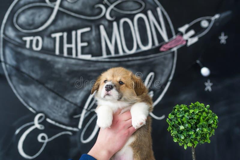 Corgi do cachorrinho nas mãos no fundo da imagem imagem de stock royalty free