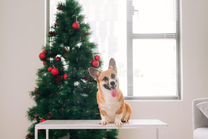 Corgi do Pembroke em uma casa decorada com uma árvore de Natal feliz imagens de stock royalty free