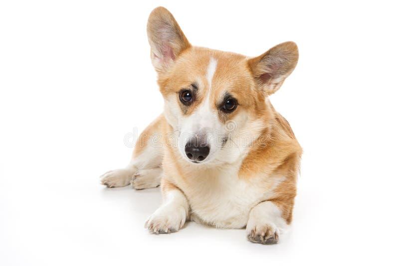 Download Corgi dog stock photo. Image of view, front, studio, looking - 10249488