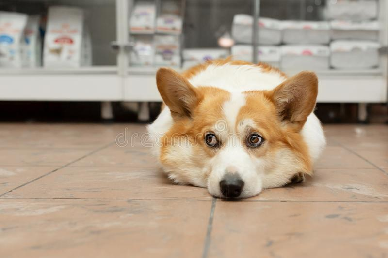 A Corgi dog is lying on the floor in a pet store and is waiting for the owner. Looking away from the camera. Against the. Background of shelves with animal feed stock photo