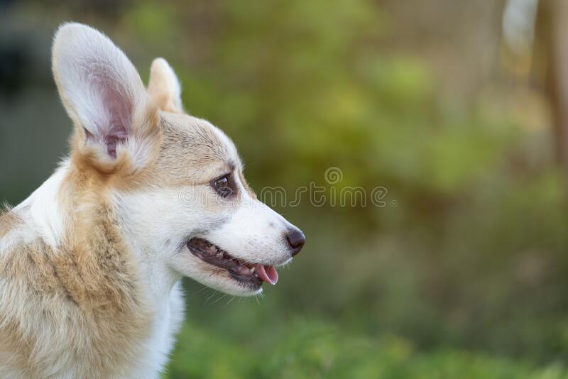 Corgi dog pet on the grass in summer sunny day royalty free stock image