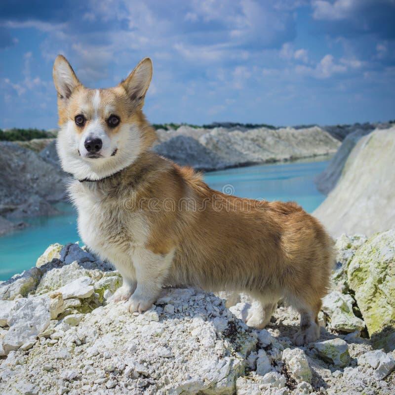 Corgi dog portrait on river background stock photography