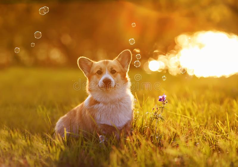 Corgi dog puppy sits on bright green meadow bathed in warm sunlight and shiny soap bubbles on a summer evening. Corgi dog puppy sits on bright green meadow royalty free stock photography