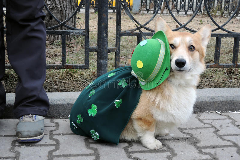 Corgi dog at Saint Patrick`s Day celebration in Moscow stock photography