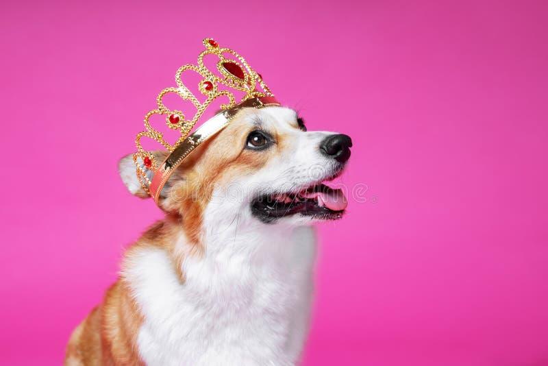 Corgi engraçado de galês do pembroke do cão na coroa, como um rei, um príncipe em um fundo cor-de-rosa do estúdio foto de stock royalty free