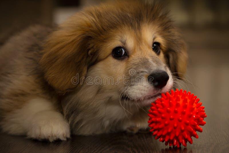 Corgi fluffy puppy. Plays ball royalty free stock image